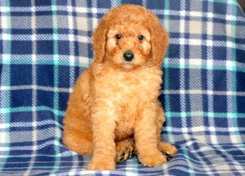 Poodle Standard Puppy For Sale In Mount Joy Pa Adn 60305 On