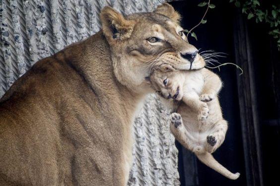 El zoo de Copenhague ha sacrificado a cuatro leones para dar cabida a un nuevo macho, en una decisión repudiada por la comunidad mundial del cuidado de los animales. Las mejores postales de las últimas 24 horas - Infonews | Un mundo, muchas voces