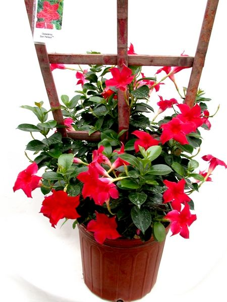 Dipladenia Is A Tropical Plant With Vines That Can Be Grown In Michigan Potted Plants Or Hanging Baskets It Attracts Hummingbirds Red Pink