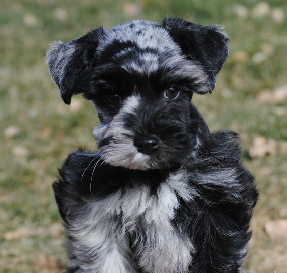 CO Female Merle Schnauzer | Merle Schnauzer Breeder.. I'm freaking out that these exist!