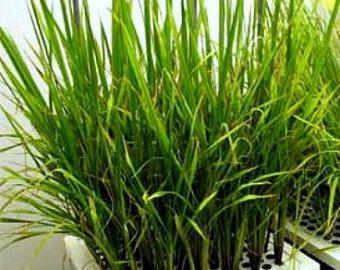 Japanese Sushi Rice Koshihikari 250 Seeds Non Gmo