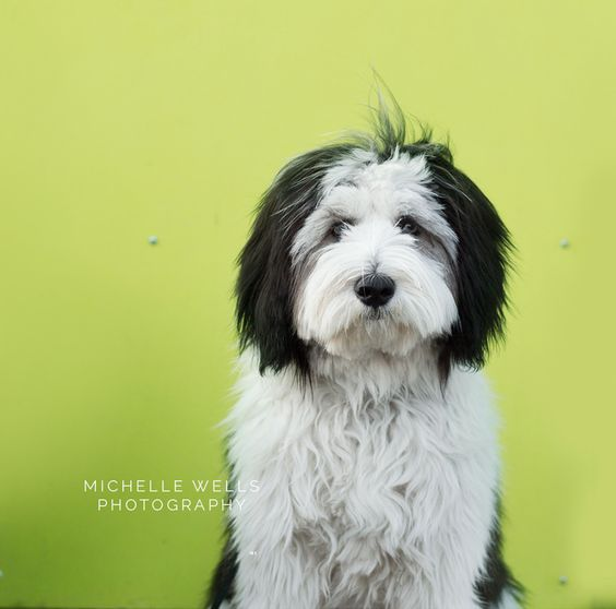 Polish Lowland Sheepdog, Hypoallergenic www.michellewellsphotography.ca