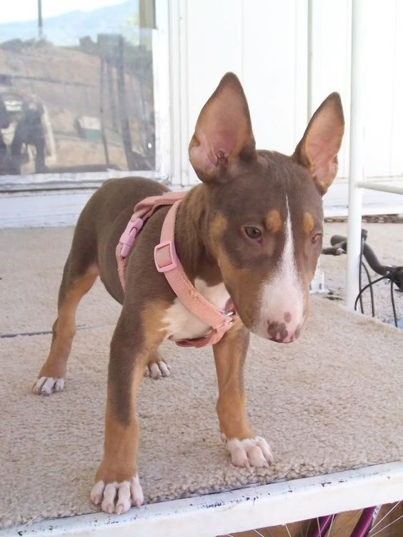 """Liver Bull Terrier - this color is considered """"undesirable"""" because it is not black based (notice the nose color), which is what the breed standard prefers."""