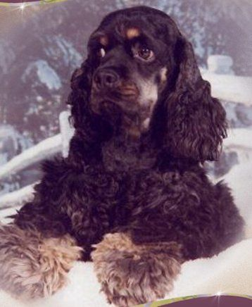 Pin By Andrea Seaman On Cocker Spaniel And Cocker Spaniel Art Cocker Spaniel Puppies Black Cocker Spaniel Clumber Spaniel