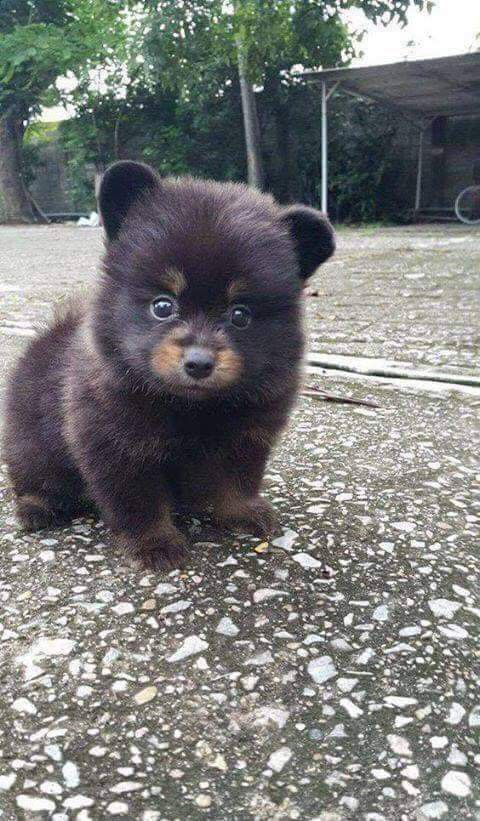 Omg This Li L Pooch Looks Like A Baby Black Bear Lol Cute