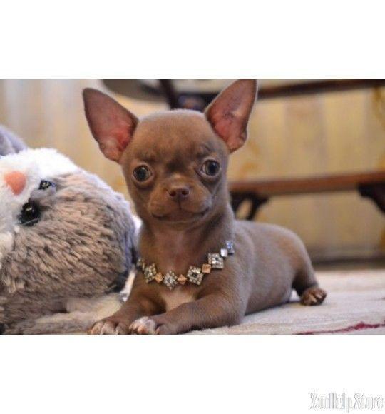 Chihuahua For Sale In N Chihuahua For Sale In Nc Chihuahua