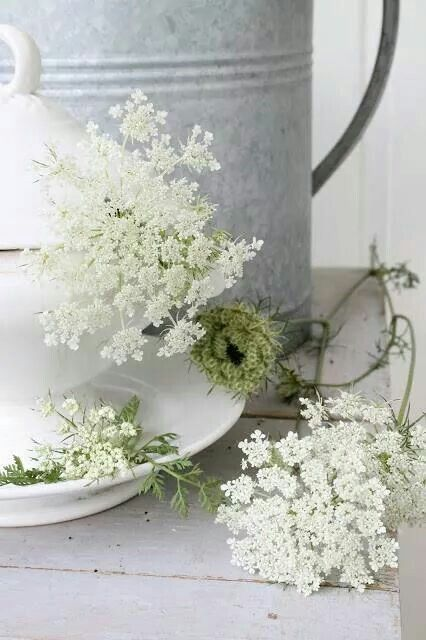 Queen Anne`s Lace