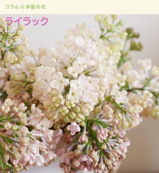 Daisuki!!!lilac!
