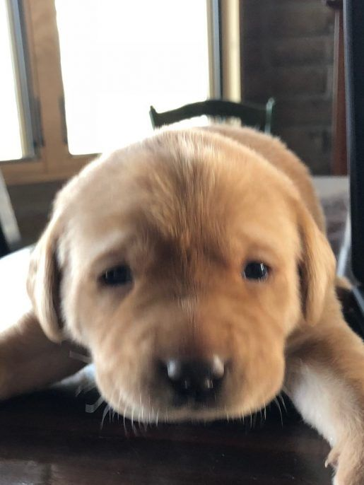 Vanilla Labrador Retriever Adopt Labrador Retriever S For Sale At Vip Puppies Labrador Retriever Labrador Retriever Puppies Labrador