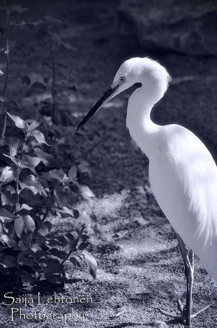 Beautiful Snowy Egret