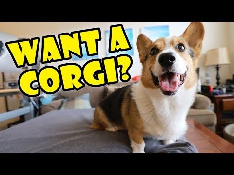 Want A Corgi Puppy Things To Know Extra After College