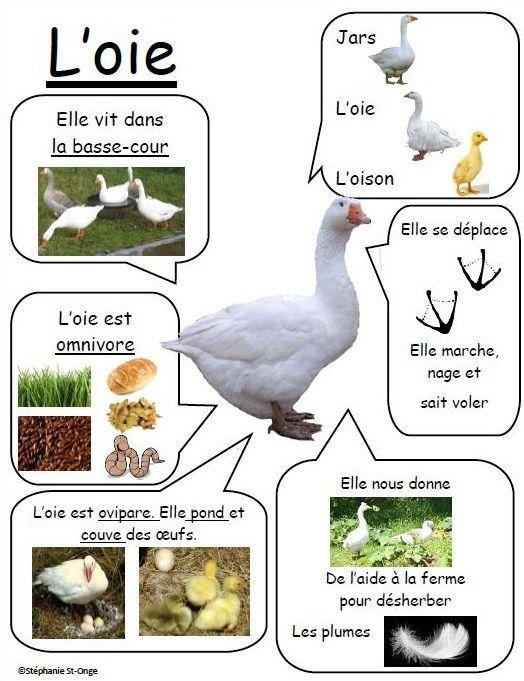 Fiche informative sur l'oie!: