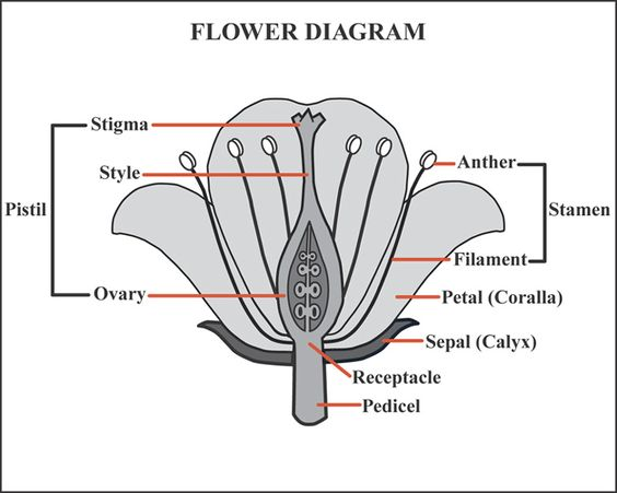 activities the flowers and cross section on pinterest : flower diagrams - findchart.co