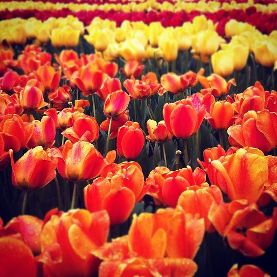Dutch tulips #travel #netherlands