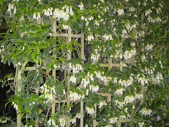 Kartuz Greenhouses: Oxera pulchella