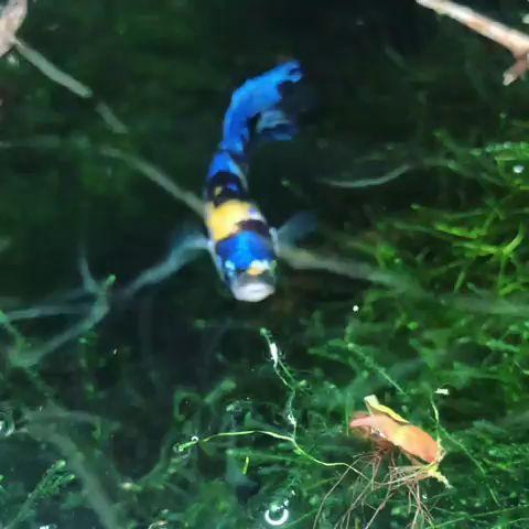 Schones Blaues Galaxie Plakat Betta Fish In 2020 Aquarium Fische Exotische Fische Kampffisch