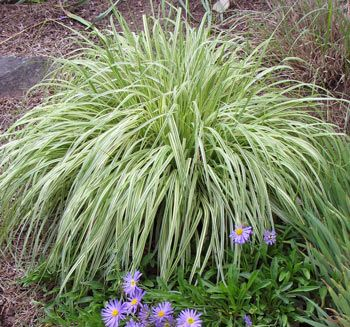 Molinia caerulea 39 variegata 39 variegated purple moor for Variegated grass plant