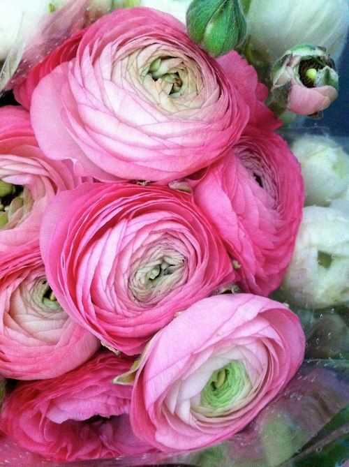 All Pink Flowers Are Beautiful And With Meanings Of Their Own So Which Do You Prefer Beautiful Flowers S Ranunculus Flowers Beautiful Pink Flowers Flowers