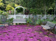 Thym rampant couvre-sol, 1000 graines, parfumé aux herbes, vivaces zones 4 à 9, soleil ou lumière ombre, deerproof, Thymus serpyllum