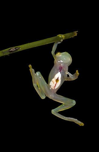Glass Frog  The incredible sight of the glass frog – whose transparent abdominal area allows you to see its internal organs. A team of American and Ecuadorian scientists working for Reptile and Amphibian Ecology International discovered a treasure trove of previously undiscovered species in a rare and dwindling ecosystem in west Ecuador