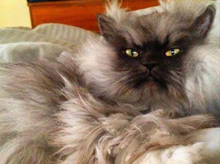 《貓上校》 他可能是全世界最愛生氣的貓