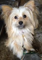 Bella is an adoptable Yorkshire Terrier Yorkie Dog in Studio City, CA. My name is Bella and I'm female and a maltese yorkie mix and I'm just turning 1 yrs old and weigh about 7 lbs.  I'm very active a...