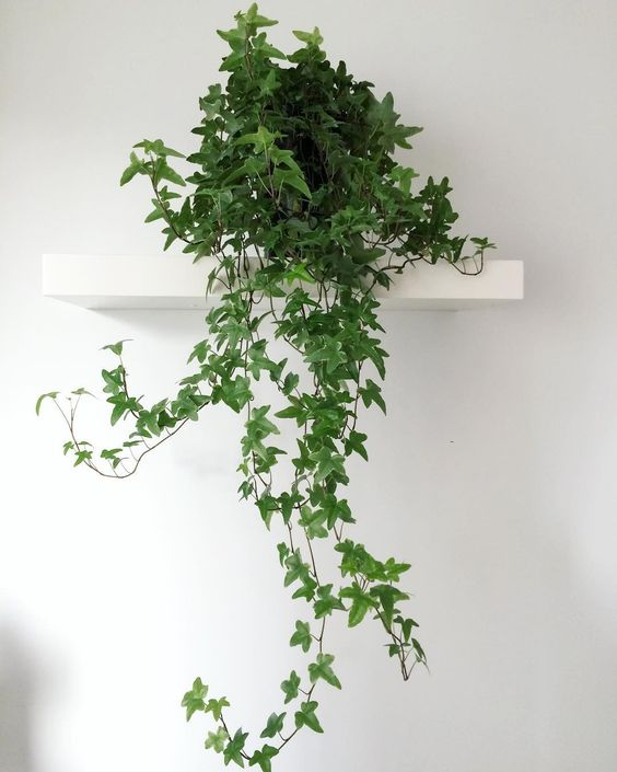 hedera helix english ivy air purifying house plants clean air plants plants healthy air air purifier houseplants indoor plants plants decor home decor interior style plant corner nordic style scandinavian living vintage style urban jungle indoor jungle minimalist design boho decor gardening living room decor  #houseplants #airpurifyingplants #englishivy #hederahelix