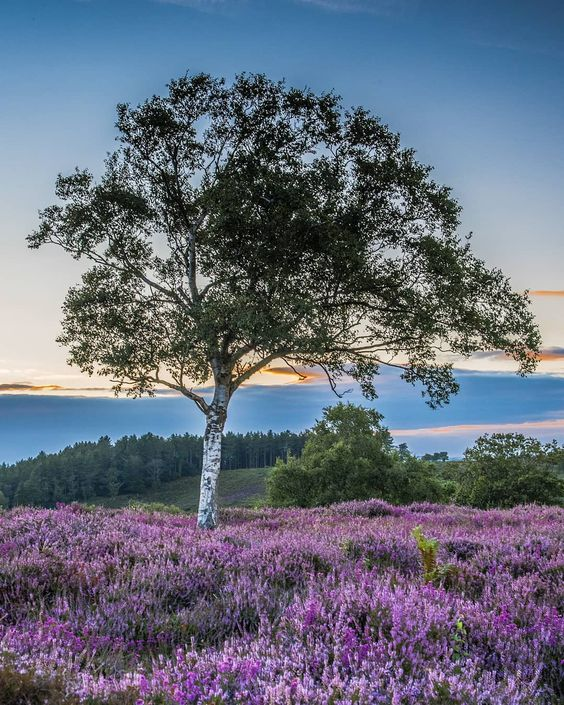 Beautiful Purple Field Of Bell Heather Erica Cinerea Is A Species Of Flowering Plant In The Heath Family Ericaceae The Planting Flowers Garden Design Plants