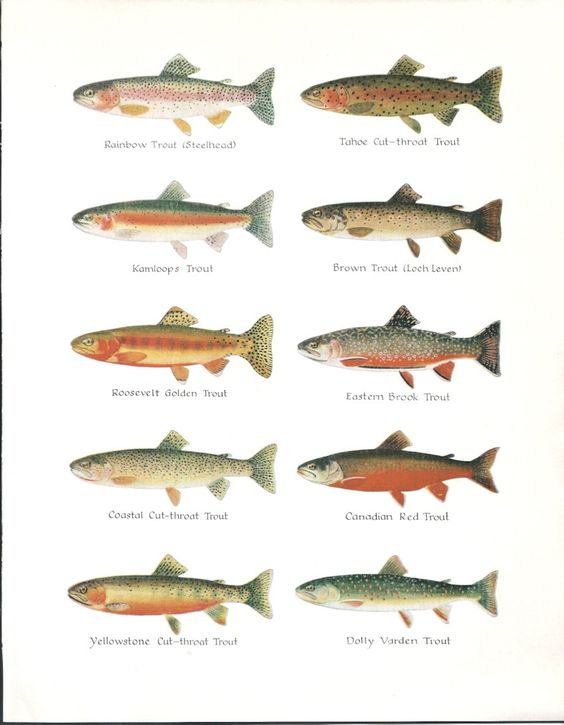 Trout types vintage fish illustration 1960s 1960s for Kind of fish