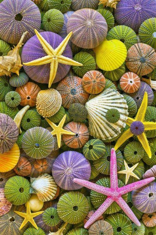 Estrellas de mar y caparazones de erizos de mar.