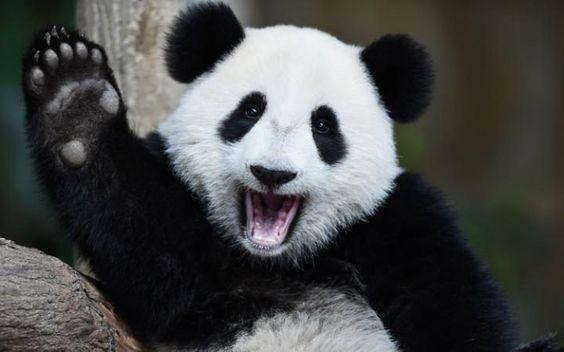 Giant panda cub Nuan Nuan in Kuala Lumpur