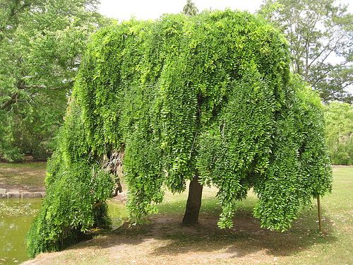 Japanese pagoda tree weeping scholar tree weeping for Small ornamental weeping trees