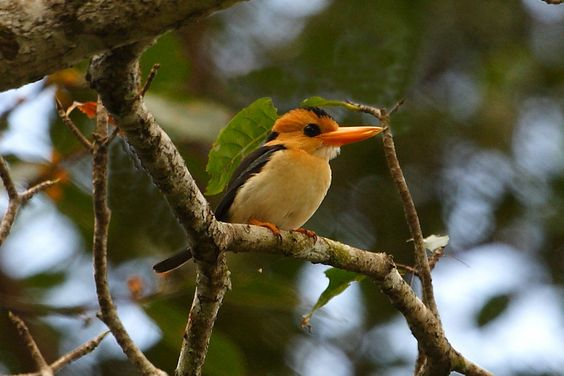 Yellow-billed kingfisher is widespread throughout lowland Papua New Guinea and the adjacent islands.