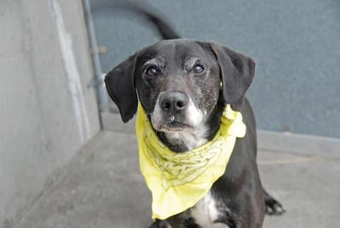 Linden is yet another senior who SLOWLY made his way in to the shelter system as a stray. He is a 10 year old Lab mix and absolutely adorable! This senior, with the bad case of happy tail, would love to start over with a new family to love. Please share him.  https://www.facebook.com/photo.php?fbid=599919576687592=a.172404072772480.42595.152876678058553=3
