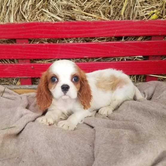 Missy Cavalier King Charles Spaniel Puppy For Sale In Beaver