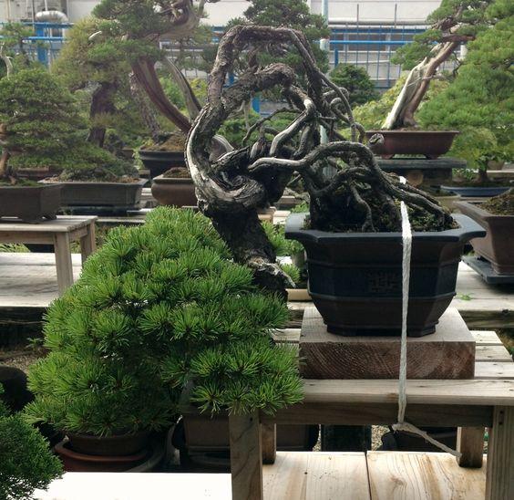 Fujikawa Kouka En, Japanese White Pine (I think)