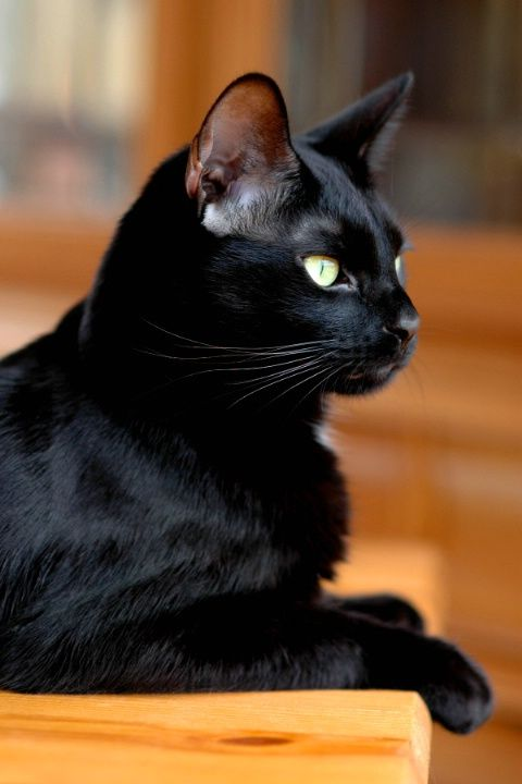 Beautiful black cat:
