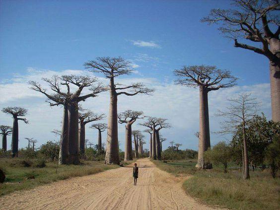 Estrada de baobás em Madagascar... Foto: MamAfrica