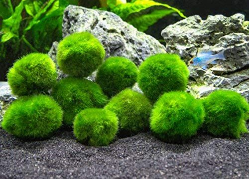 10 Marimo Moss Balls Aquarium Ball Set 1 Inch Each Unique