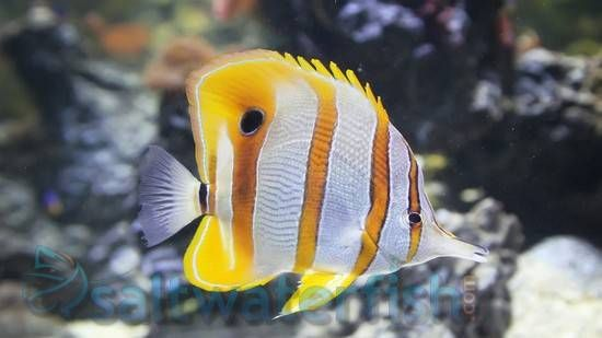 Cooperband Butterfly Fish