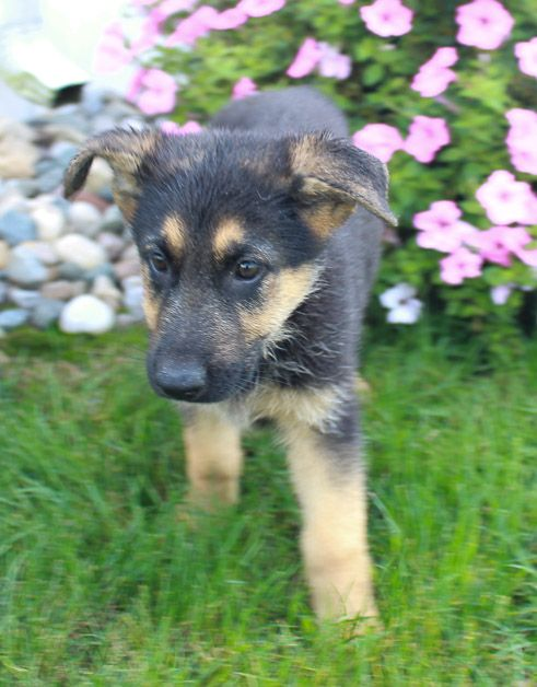 Minnie German Shepherd Puppy For Sale In Grabill Indiana