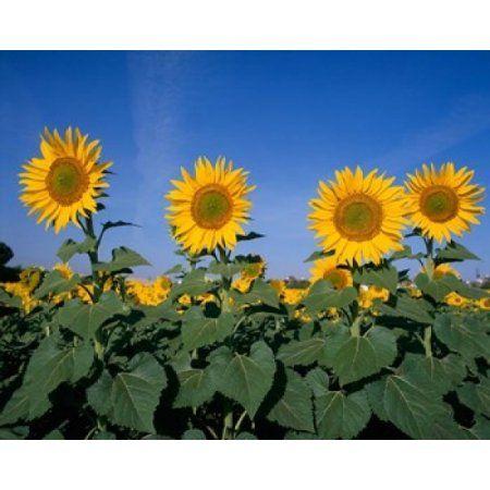 Sunflowers Spain Canvas Art - Paul Thompson DanitaDelimont (20 x 16)