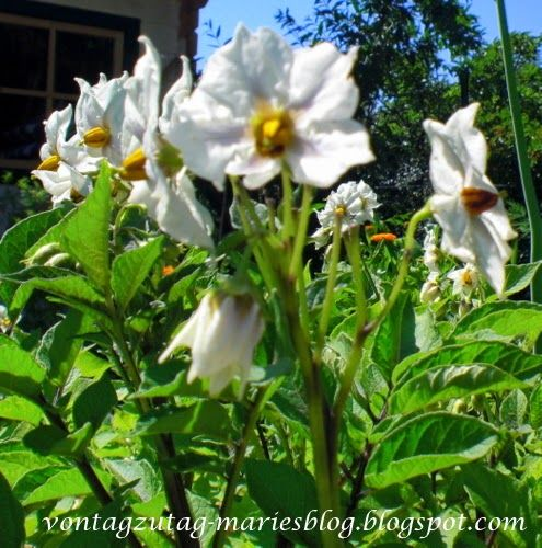 Blaue Kartoffelpflanze in Blüte.@vontagzutagmari http://vontagzutag-mariesblog.blogspot.co.at/