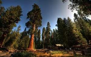 Redwoods of California.