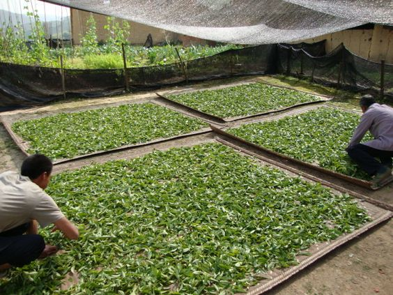 Na het eerste wokken van de thee op lage temperatuur wordt de zacht geworden thee in de zon gedroogd. Een cruciale stap in het bewerkings proces van de Pu Er. Want nu mag de thee niet warmer worden dan 40 graden Celcius. Bij hogere temperaturen sterven de oxidatie enzymen en micro organismen die zo essentieel zijn voor de rijping van de thee. Chinese Pu'er tea leaves being sun-dried