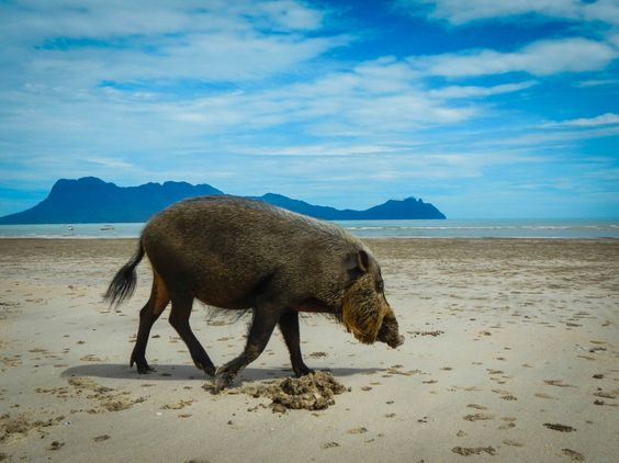 Welcome in Bako National Park by bearded pigs http://www.inspirawtion.com/bako-national-park.html