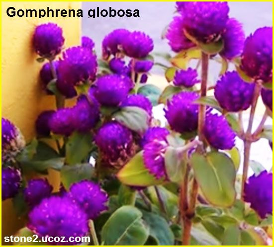 انواع نبات دم العاشق Gomphrena قوائم النبات قوائم النبات معلومان عامه معلوماتية Plants Lei Necklace