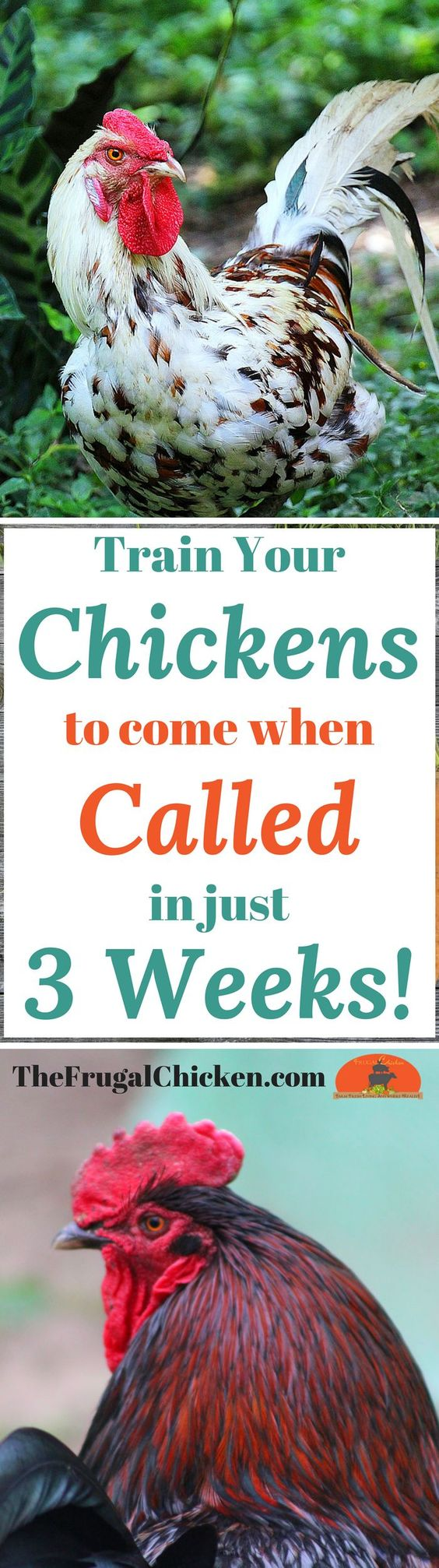 Got predators? Love how cute chickens are when they run? Teach your chickens to come when called - it's a great way to keep them safe when predators lurk!