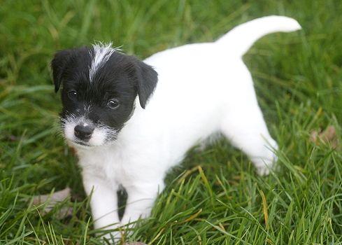 ** Foxbury's Parson Russell Terrier