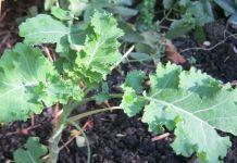 Le Chou perpétuel Daubenton, un légume ancien de culture facile